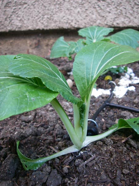 Bok Choy plant.  I already want to eat them.