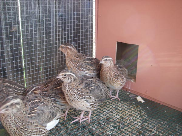 Quails venturing out of the shelter.