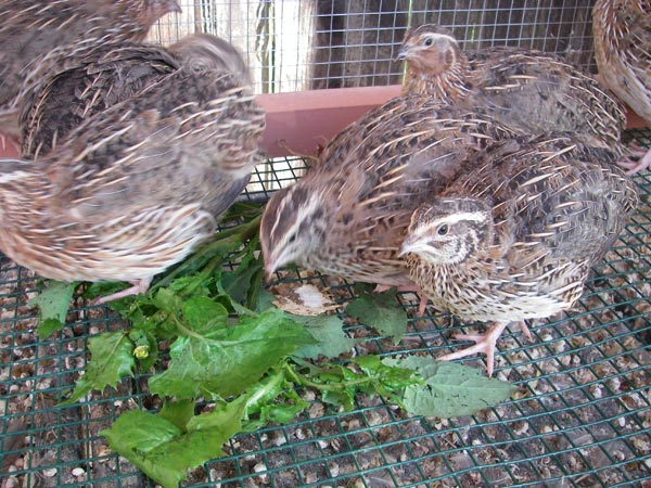 Quails snacking on some weeds!  They're great little garbage disposals =)