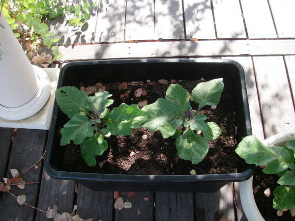 These are the eggplants we're growing on the deck.  We ran out of room in the garden!