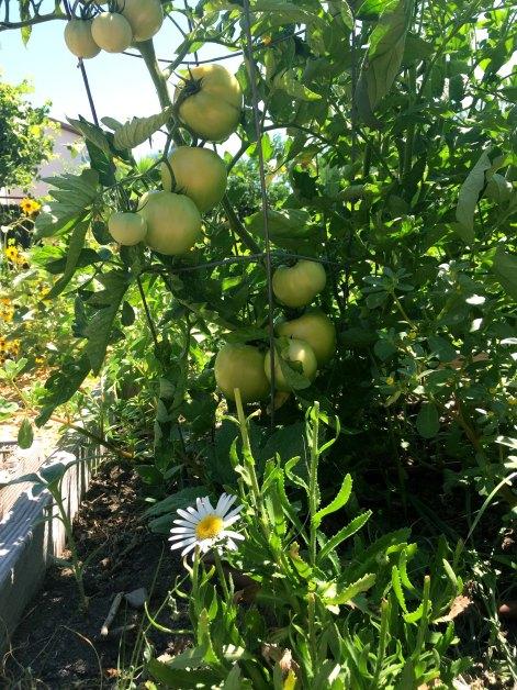 daisy tomato