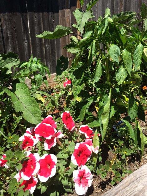 petunia pepper